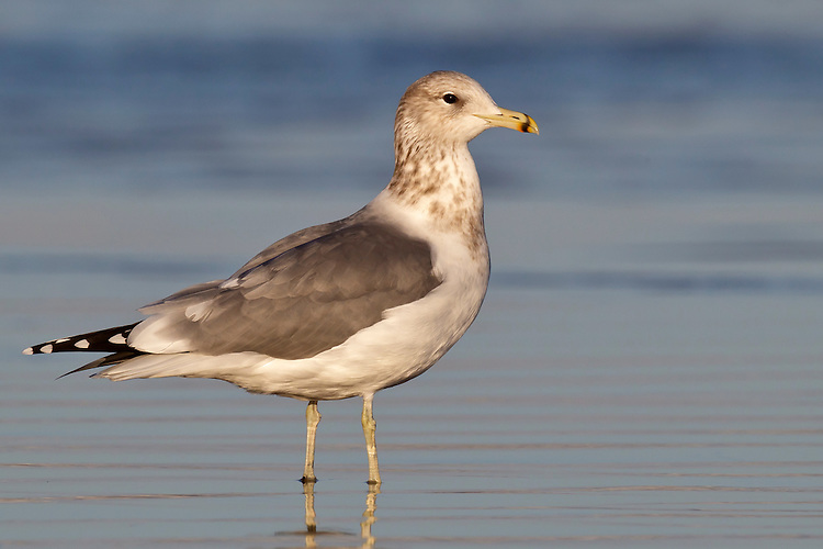 California Gull - Larus californicus - Adult non-breeding