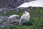 Mountain goats by Frank Balthis