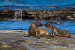 Baby sea lions interacting on Santiago Island in the Galapagos National Park, Galapagos, Ecuador, South America