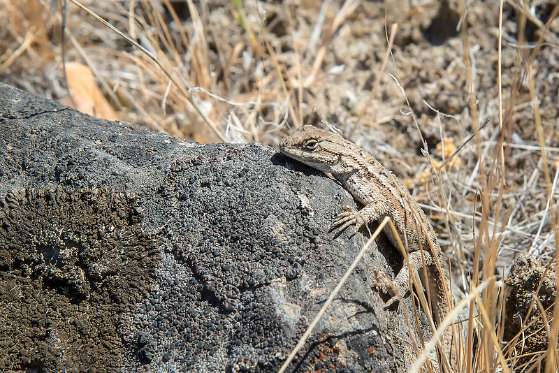 One of the more common lizards of the West Coast of North America, this one was found in its northernmost part of its range in Central Washington, by the bank of the Tieton River on a chilly late spring morning.