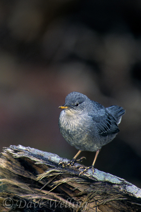 517953030 an american dipper cinchus mexicanus perches on a log along a stream in the eastern sierras of central california