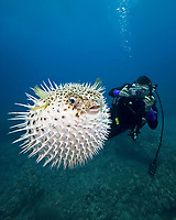 Diver (MR) photographing longspine porcupinefish, Diodon holocanthus, Diodon hystrix, Maui, Hawaii, USA, Pacific Ocean