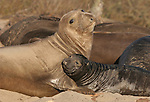 Elephant seal female and pup at Ano Nuevo State Park