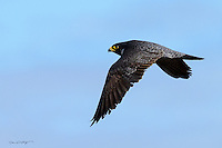 A peregrine falcon cruises the skies over the Colville River Delta on Alaska's north slope.