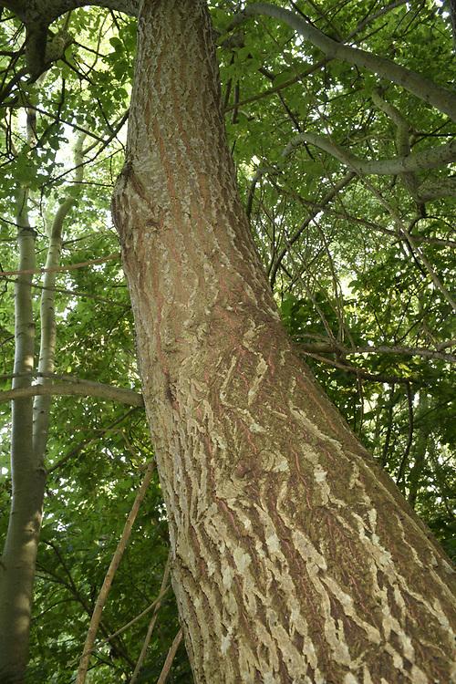 Goat Willow - Salix capraea