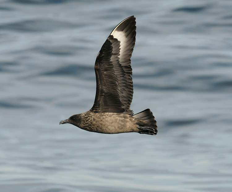 Great Skua Stercorarius skua L 48-52cm. Bulky seabird. Gull-like but note large head, dark legs and dark bill. In flight, shows striking white wing patch. Part scavenger, part predator and food parasite of Gannet. Sexes are similar. Adult is brown with buff and golden-brown streaks. Juvenile is uniformly dark brown and rufous. Voice Mostly silent. Status Locally common summer visitor and passage migrant. Nests near seabird colonies in Scotland; Orkney and Shetland are strongholds. Passage birds invariably seen at sea.