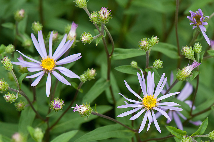 Purple Wood Aster (Eurybia spectabilis), mid June. Also known as Eastern Showy Aster.