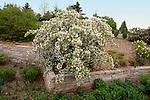 3626-CB(OK) Red Jade Flowering Crabapple Malus `Red Jade', and lannon stone wall, at Minnesota Landscape Arboretum