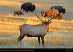 Bull Elk Watching Bison at Sunset, Norris Junction, Yellowstone National Park, Wyoming