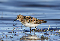 Little Stint - Calidris minuta