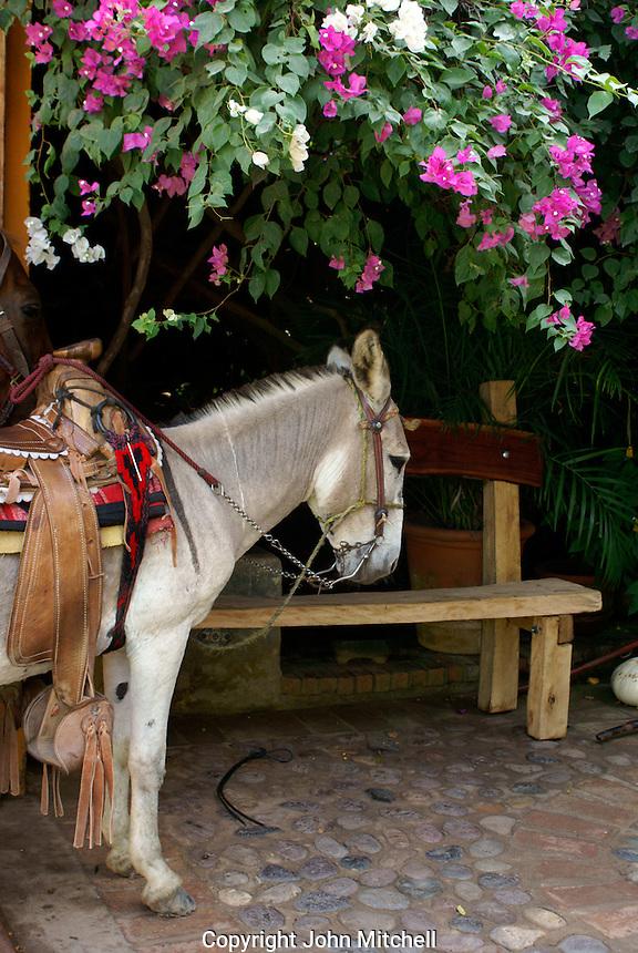 Burro in the town of El Quelite near  Mazatlan, Sinaloa, Mexico