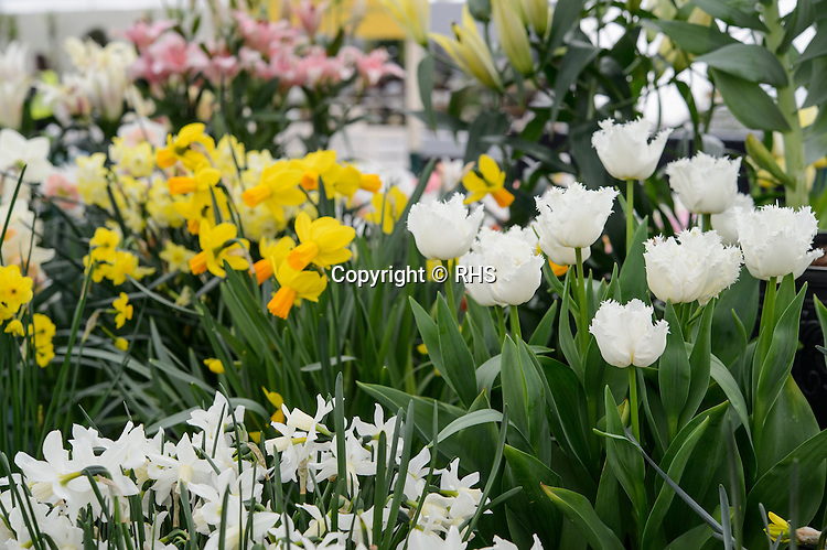 General Shot of Tulips and Daffodils / H W Hyde & Son in the Floral Marquee at the RHS Show Cardiff 2016.