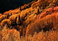Late afternoon light illuminates changing aspen near Guardsman Pass.  Wasatch Mountains, Utah.  October 2012.