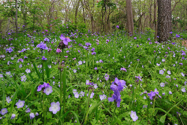 Prairie Spiderwort (Tradescantia occidentalis) Baby Blue-Eyes (Nemophila phacelioides), blooming on forest floor, Palmetto State Park, Gonzales County, Texas, USA