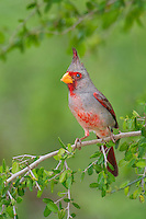 573900062 a wild male pyrrhuloxia cardinalis sinatus perches on a small tree limb on santa clara ranch starr county texas united states