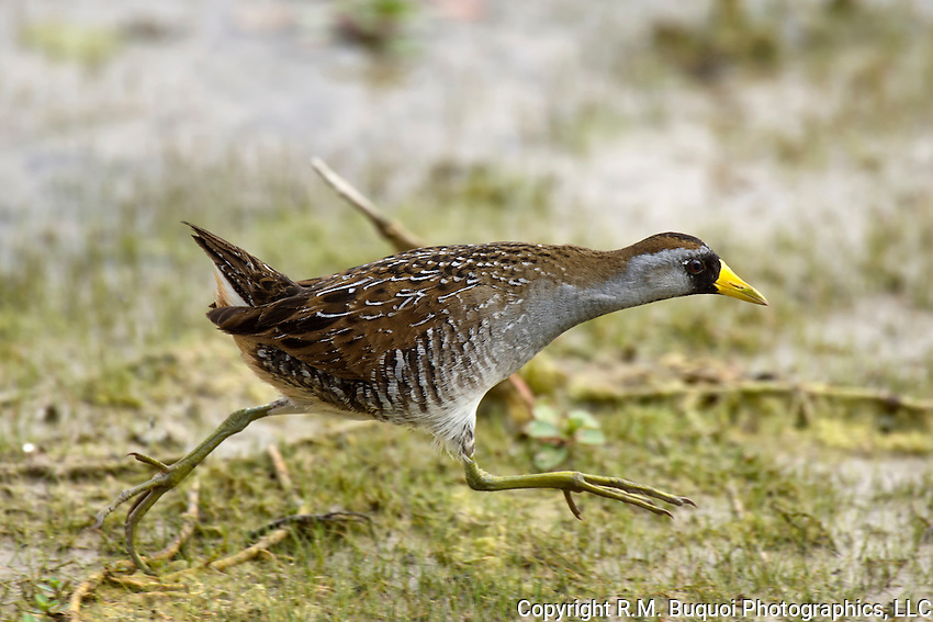 Sora Rail on the move