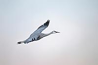 Sandhill Crane in Flight at Bosque Del Apache NWR