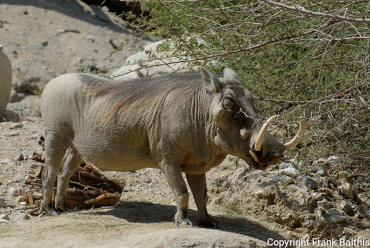 wart hog at the Living Desert