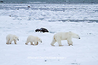 01874-12617 Polar bears (Ursus maritimus)  mother and 2 cubs walking near Hudson Bay in winter, Churchill Wildlife Management Area, Churchill, MB Canada