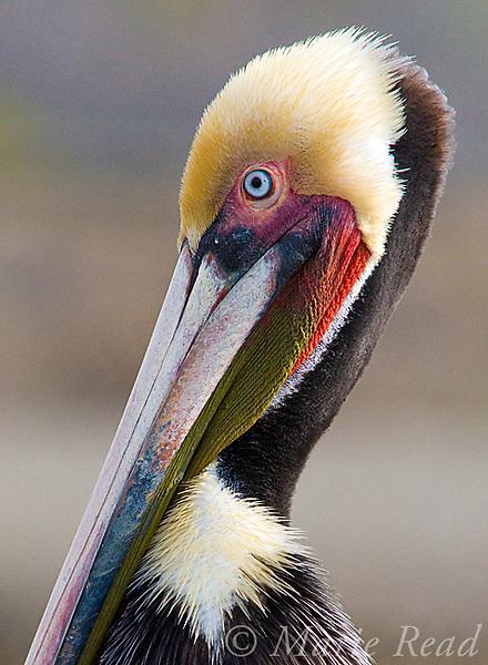 Brown Pelican (Pelecanus occidentalis), breeding plumage, Bolsa Chica Ecological Reserve, California, USA