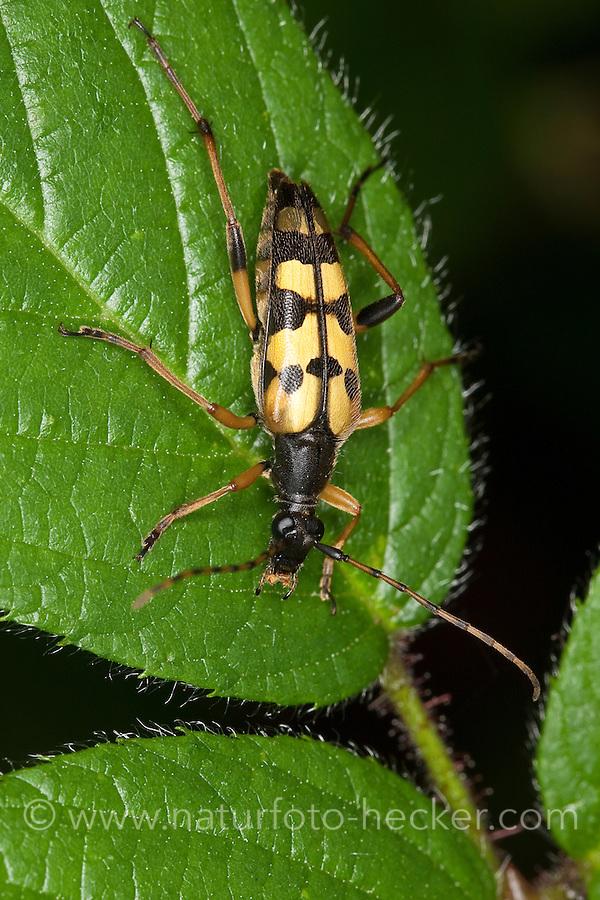 Gefleckter Schmalbock, Strangalia maculata, Stenurella maculata, Leptura maculata, Rutpela maculata, Spotted Longhorn, Yellow-black Longhorn Beetle