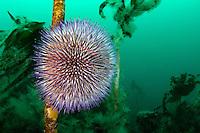Sphaerechinus granularis mit Laminariales, Violetter Seeigen und Kelp, Purple or Violet Sea urchin and brown algea, seaweed, Reykjavík, Faxafloi-Bucht, Tauchplatz Gardur, Island, Nord Atlantik, dive side Gardur, Faxafloi-Bay, Iceland, North atlantic