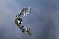 Kohlmeise, im Flug, Flugbild, fliegend, mit Vogelfutter im Schnabel, Kohl-Meise, Meise, Meisen, Parus major, Great tit, flight, flying, La Mésange charbonnière