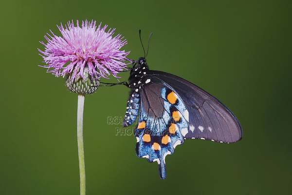 Pipevine Swallowtail (Battus philenor), adult feeding on texas thistle, Sinton, Corpus Christi, Coastal Bend, Texas, USA