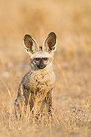 Bat-eared fox portrait