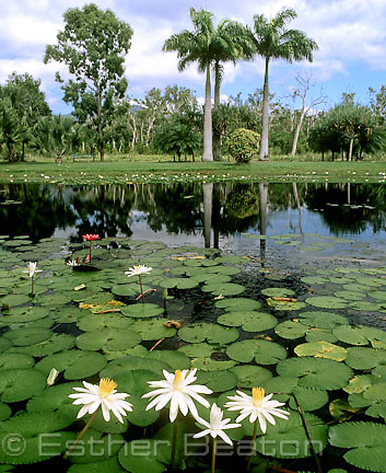Red and white water lilies (Nymphaea sp) and palm trees. Flecker Botanic Gardens, Cairns, North Queensland.