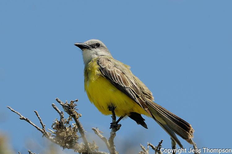 Tropical Kingbird, Rockport, Texas