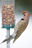 01193-014.20 Northern Flicker (Colaptes auratus) male on peanut feeder, Marion Co. IL