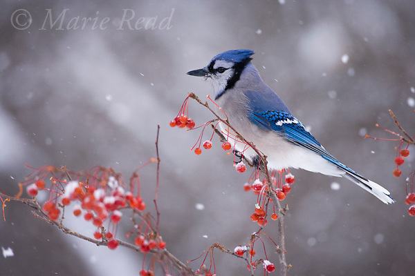 Blue Jay (Cyanocitta cristata) amid red berries and falling snow in winter, New York, USA