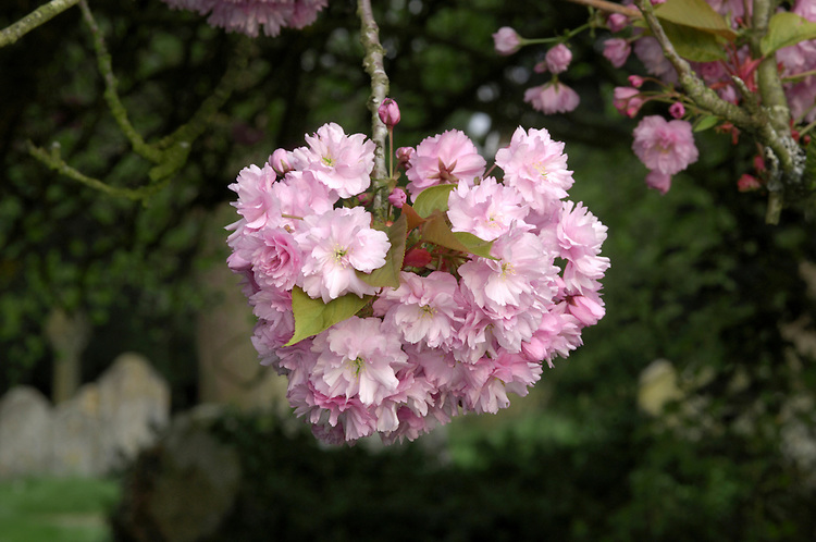 Japanese Cherry Prunus serrulata (Rosaceae) HEIGHT to 15m. A small to medium-sized deciduous tree. BARK Purple-brown, ringed by horizontal lines of prominent lenticels. BRANCHES Ascending, usually fanning out from the bole and terminating in smooth twigs. LEAVES Up to 20cm long, ovate and drawn out to a long tapering tip; the margin is sharply toothed and the smooth petiole, to 4cm long, has up to 4 red glands near the base. REPRODUCTIVE PARTS The white or pink flowers grow in clusters of 2–4, opening just before the leaves; in some cultivars so flowers are borne on a 8cm-long petiole, may have notched petals, and vary in shade from pure white to deep pink. Fruits are round, to 7mm long and deep purple-crimson; they seldom develop in cultivated trees. STATUS AND DISTRIBUTION Probably native to China, then introduced into Japan at a very early date, and subsequently brought to our region where now it is a very popular garden tree. Centuries of breeding and selection have made modern trees different from their wild ancestors, which are rarely seen. SIMILAR TREES Originally bred in Japan and ancient in origin, there are many cultivated forms of Cherry that are popular here as garden tree, and that are often collectively referred to as 'Japanese Cherries'; typically they are known only by their cultivar names. Popular forms include: Prunus 'Kanzan' with magenta buds and pink flowers; Prunus 'Shirofugen' with pink buds and white double flowers; Prunus 'Shirotae' with large, white flowers; Prunus 'Pink Perfection' with pink double flowers.