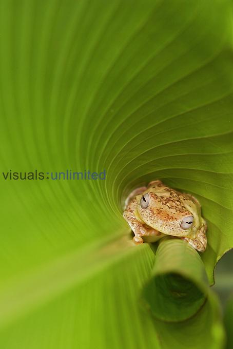Tree frog ,Hyalinobatrachium valerioi,