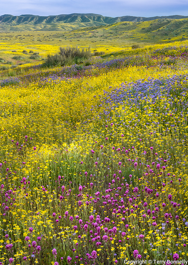 Carrizo Plain National Monument, California:<br /> Spring blooms of owls clover, monolopia and fiddleneck with  the distant coastal range