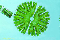 PX22-006b  Desmid - green algae - Micrasterias spp. 250x