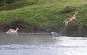 24/08/16<br /> <br /> A heron watches as a young deer is led through the river by an older deer.<br /> <br /> As dawn breaks over the Chatsworth estate, Fallow deer cool-off in the river Derwent as it flows through the Derbyshire Peak District ahead of the hottest day of the year.<br /> <br /> <br /> All Rights Reserved, F Stop Press Ltd. +44 (0)1773 550665