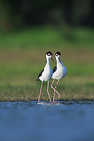 Black-necked Stilt (Himantopus mexicanus), pair displaying, Dinero, Lake Corpus Christi, South Texas, USA
