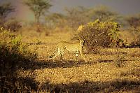 Cheetah ( Acinonyx jubatus) Africa