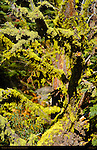 Wolf Lichen on Red Fir, Letharia vulpina, Abies magnifica, Taft Point Trail, Yosemite National Park