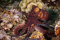 An underwater image of a day octopus taken along the North Shore of O'ahu.
