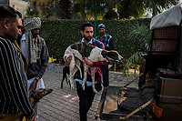 FARIDKOT, PUNJAB, INDIA - JANUARY 05, 2016: Trainers load greyhounds as people gather at the property of Kushaldeep Singh Dhillon also known as KIKI, prior to a  greyhound race meet on January 5, 2016 in Faridkot, India. <br /> Daniel Berehulak for The New York Times