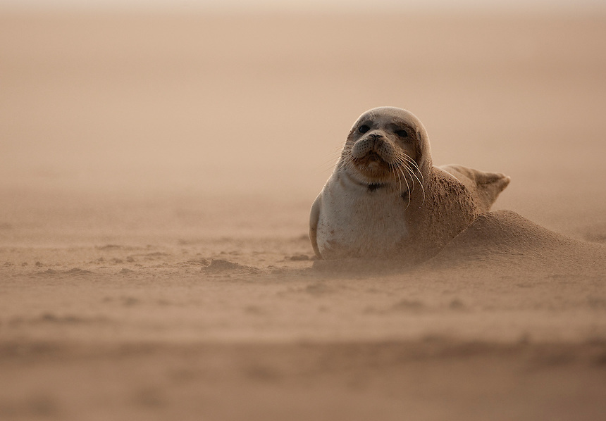 Common Seal (Phoca vitulina) pub resting on a sandbank during a sandstorm, Donna Nook, Lincolnshire