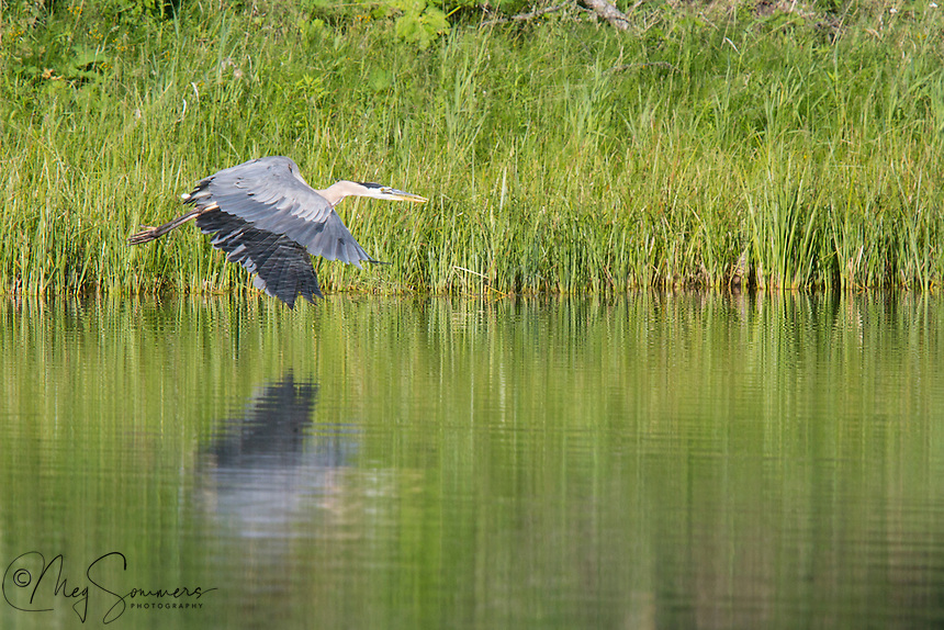 This Great Blue heron (Ardea herodias)takes wing to survey his fishing grounds.