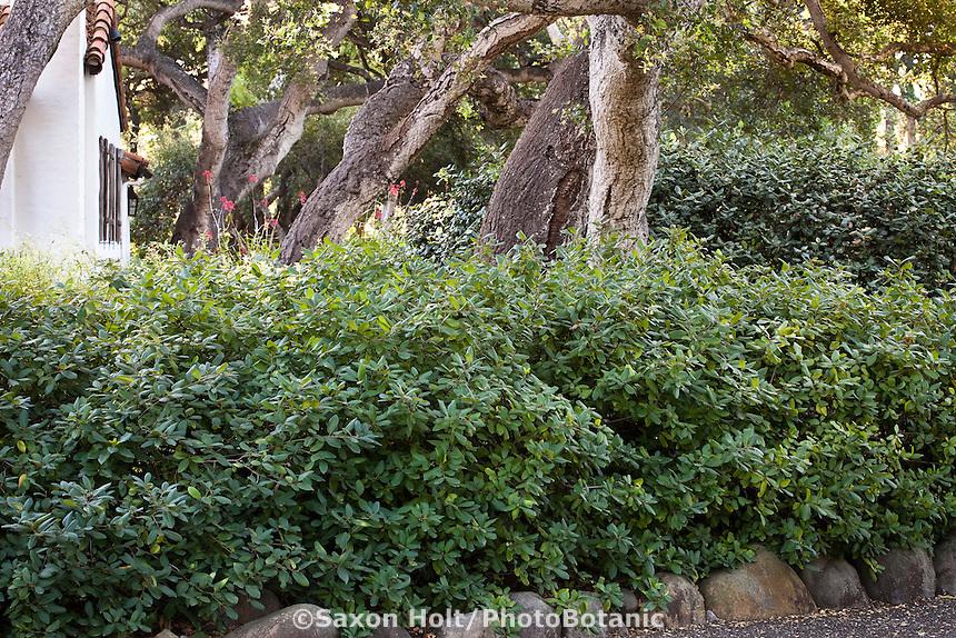 Hedge of native shrub Coffeeberry (Rhamnus californica) in California native plant garden under oaks, Santa Barbara