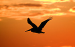 Pelican flies in the sunset in Morro Bay.