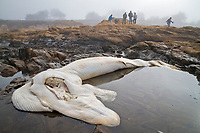 6-month old blue whale fetus ( Balaenoptera musculus ), which was ejected from its other after a suspected collision with a boat. Bean Hollow State Beach near Pescadero Beach, Northern California. (GPS coordinates: 37.227072, -122.410529)