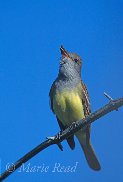 Great Crested Flycatcher (Myiarchus crinitus), adult calling, New York USA.<br /> Slide # B105-341