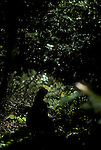 Ruffed grouse, Bonasa umbellus, game bird, gallinaceous,Ruffed grouse; Bonasa umbellus; game bird; gallinaceous, displaying, courtship dance, birds<br />
